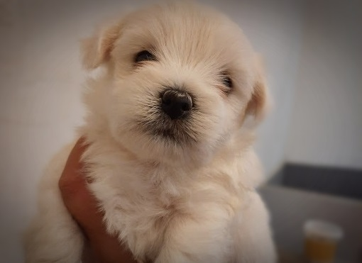 BICHON MALE DISPO LE 8/12
