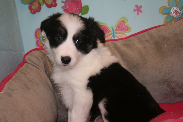 BORDER COLLIE F